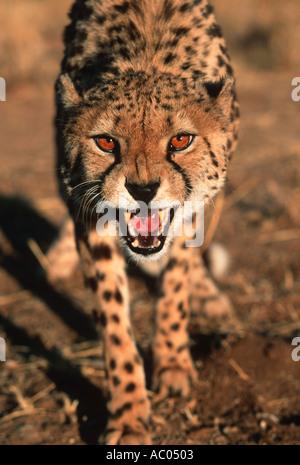 Gepard Acinonyx Jubatus Snarling Afrika, Naher Osten - Stockfoto