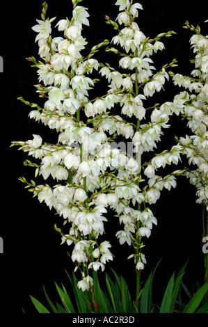 Yucca-Pflanze mit Spitzen der weißen Blumen abgebildet auf der ...
