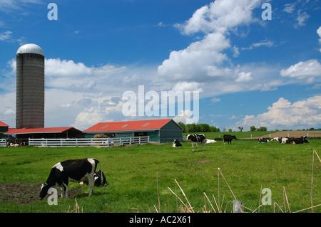 Holstein Kühe in einem Feld mit Scheune - Stockfoto