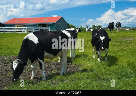 Neugierig Holstein Kühe in einem Feld mit Scheune - Stockfoto