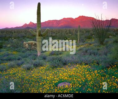 Organ Pipe Cactus National Monument, AZ: Saguaro-Kaktus in einem Feld von Mohn mit späten Licht - Stockfoto