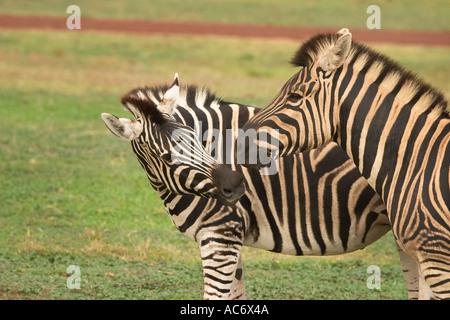 Zebras - Stockfoto