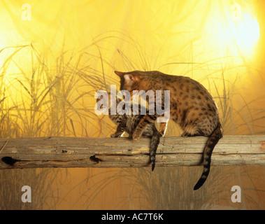 Bengal-Katze und Kätzchen - Stockfoto