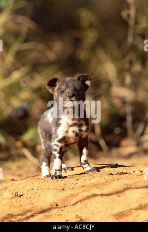 Wilder Hund Welpen suchen Sie direkt in die Kamera Marekele Nationalpark Limpopo Provinz; Südafrika - Stockfoto