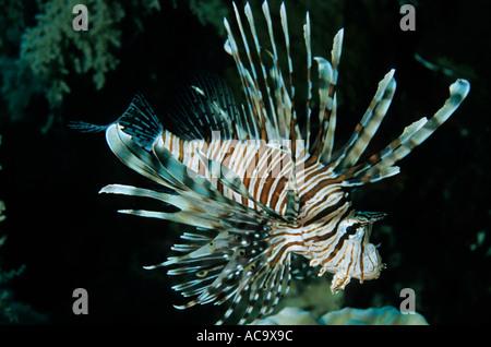Feuerfische Schwimmen unter Korallen am Elphinstone Reef im Roten Meer, Ägypten. - Stockfoto