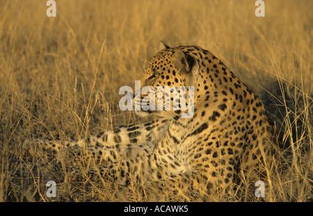 Leoparden Panthera Pardus männlichen Harnas Namibia - Stockfoto