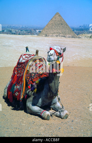 Ein Kamel entspannend in der Nähe der Pyramiden in Ägypten - Stockfoto