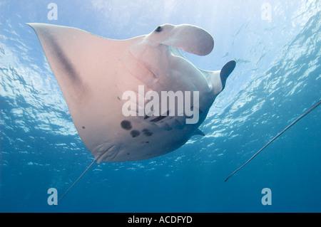 Ein Mantarochen ernährt durch Schwimmen durch eine Wolke von Plankton Manta Birostris Hinweis das Heck des zweiten - Stockfoto