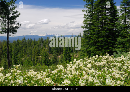 Geschwollene weiße Blume Spirea am Berghang Newberry Crater Caldera und Cascade Mountains Newberry Crater National - Stockfoto