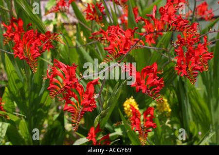 Viele Crocosmia die rote Blume mit grünen Foiliage im Juli Sommer hinterlässt - Stockfoto