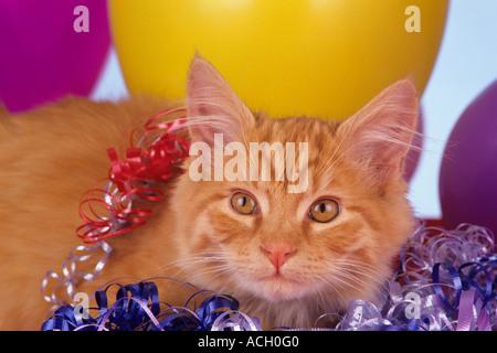 Stock Foto langhaarigen lange Haar Orange inländischen Kitten mit Ballons Bänder Krachmachern Partei Thema Feier - Stockfoto