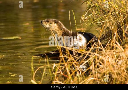 River Otter stehend auf Creek Bank Flroida vom Aussterben bedrohte Tierarten - Stockfoto