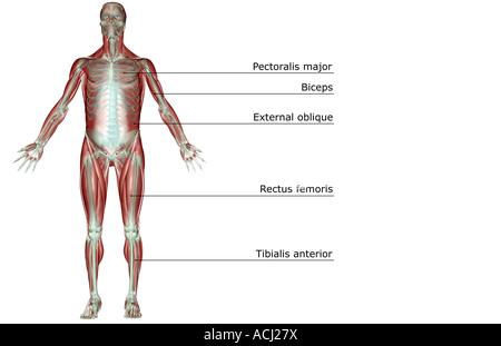 Das Muskel-Skelett-system Stockfoto, Bild: 13175640 - Alamy