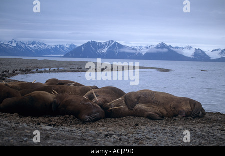 Walross am Strand von Svalbard - Stockfoto