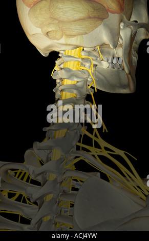 Die Versorgung der Nerven des Halses Stockfoto, Bild: 13173685 - Alamy