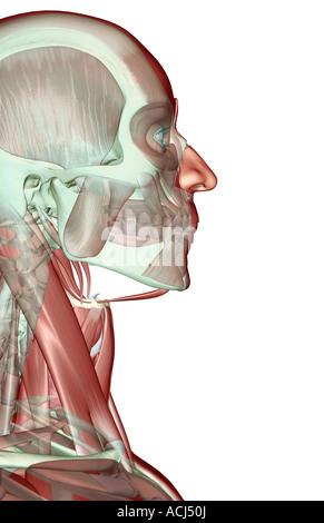 Die Musculoskeleton von Kopf, Hals und Gesicht Stockfoto, Bild ...
