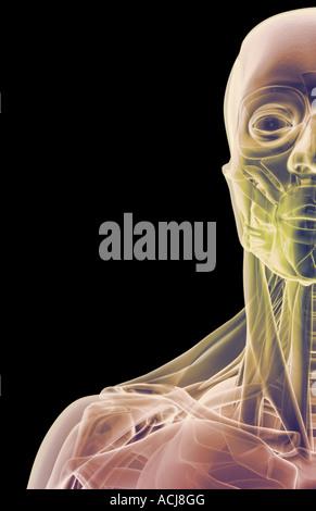 Die Muskeln von Gesicht, Hals und Schulter Stockfoto, Bild: 13173468 ...