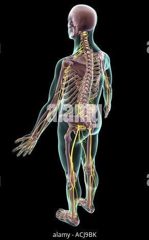 Das Nervensystem - Stockfoto