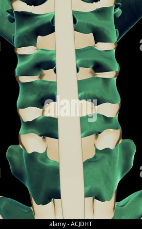 Die Bänder im Nacken Stockfoto, Bild: 13197637 - Alamy