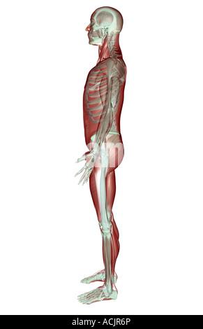 Menschlichen Muskel-Skelett-Systems Stockfoto, Bild: 79459831 - Alamy