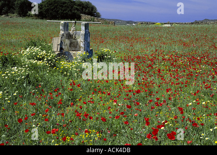 Mohn und gemischte Frühlingsblumen bei Cala Tirant Menorca Balearen ist Spanien - Stockfoto