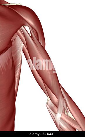 Die Muskeln der Schulter und Oberarm Stockfoto, Bild: 13171801 - Alamy