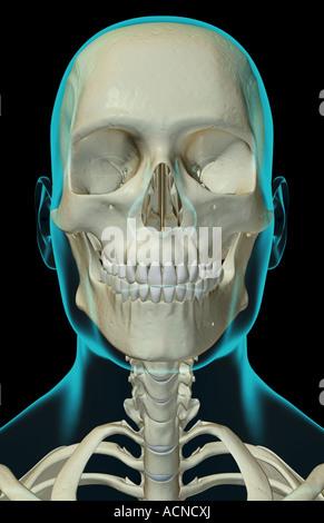 Die Knochen von Kopf, Hals und Gesicht Stockfoto, Bild: 13172064 - Alamy