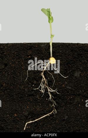 Erbse Sämling zeigt Wurzeln Erbse Saatgut unter Boden und das erste echte Blätter - Stockfoto