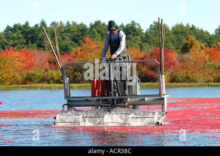 Herbst-Cranberry Ernte Carver Massachusetts - Stockfoto