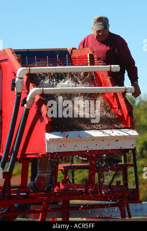 Herbst-Cranberry Ernte Carver Massachusetts - Stockfoto