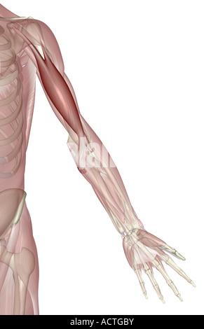 Biceps brachii Stockfoto, Bild: 13233511 - Alamy