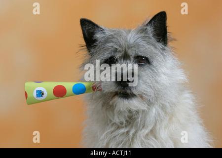 Cairn Terrier Cairn Terrier Mit Troete Innen Studio indoor - Stockfoto
