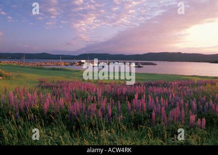 Bereich der Lupinen in der Nähe von Ingonish Harbor, Cape Breton Island, Nova Scotia, Kanada - Stockfoto