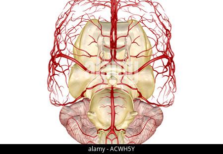 Circulus arteriosus cerebri Stockfoto, Bild: 13233595 - Alamy