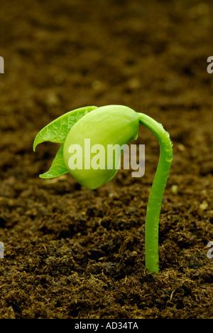 Limabohne, Phaseolus Lunatus, Sämling in dunkler Erde sprießen - Stockfoto