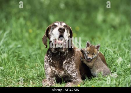 tierische Freundschaft: Deutscher Kurzhaariger Vorstehhund Hund und junge Rotfuchs - Stockfoto