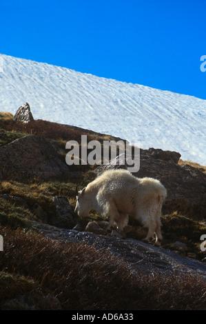 Eine Bergziege Schürfwunden am Colorado Hang, in der Nähe von Mount Evans - Stockfoto