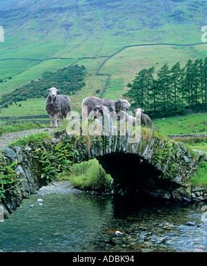 Herdwick Schafe auf einen Lastesel Brücke über Mosedale Beck in der Nähe von Wasdale Head im englischen Lake District, - Stockfoto