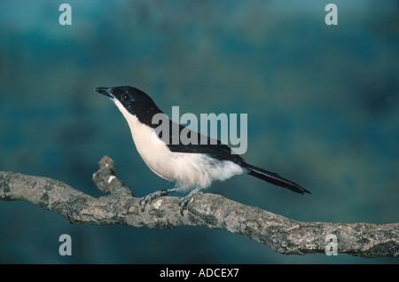 Bell Shrike Lanarius Ferrugineus südlichen Boubou thront auf Zweig - Stockfoto