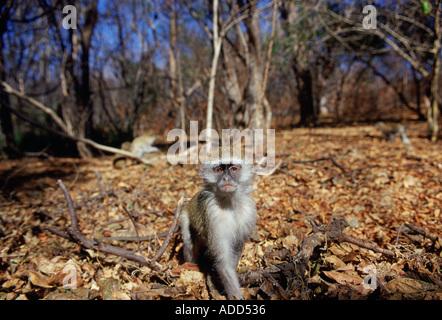 Junge Vervet Affen unter gefallenen Laub in Simbabwe - Stockfoto