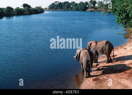 Afrikanischer Elefant Loxodonta Africana trinken am Chobe Fluss Chobe N P Botswana - Stockfoto