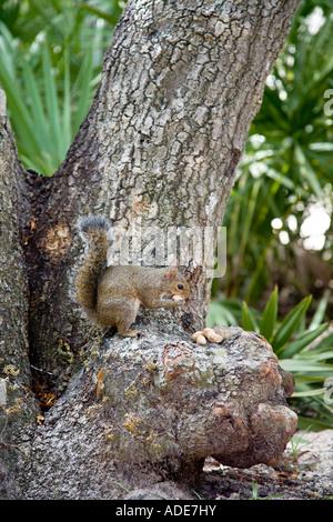 Graue Eichhörnchen sitzend auf Baum essen Erdnüsse - Stockfoto