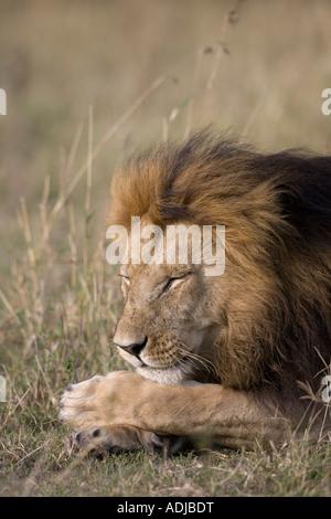 Afrika Kenia Masai Mara Game Reserve männliche Löwe Panthera Leo schlafen in hohe Gräser auf Savanne - Stockfoto