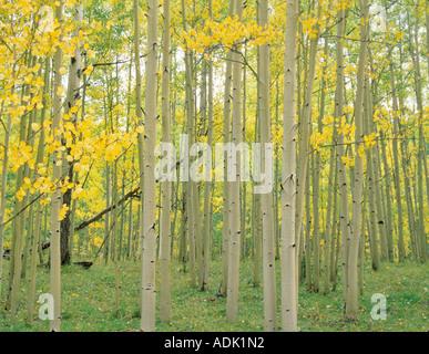 Eine Nahaufnahme von einer aspen Wald in Herbstfarben San Juan Mountains Colorado - Stockfoto