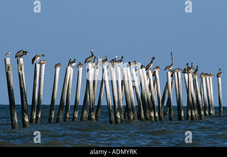 Brauner Pelikan Pelecanus Occidentalis sitzen auf Beiträge Port Aransas Texas USA Dezember 2003 - Stockfoto