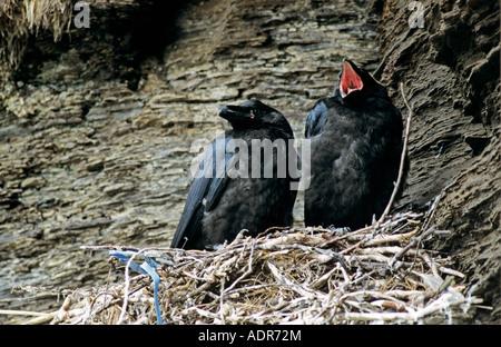 Gemeinsame Raven-Corvus Corax junge im nest Ekkeroy Norwegen Juni 2001 - Stockfoto