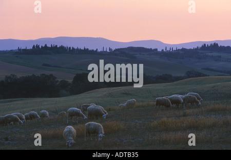 Schafe auf toskanischen Ackerland Italien - Stockfoto