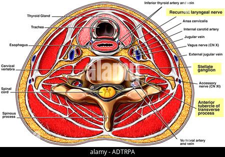Querschnitt einer Arterie Stockfoto, Bild: 24065079 - Alamy