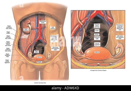 Bauch- und Becken-Anatomie - weiblich Stockfoto, Bild: 7713052 - Alamy