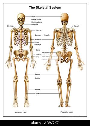 Skelett Anatomie der unteren Extremitäten Stockfoto, Bild: 22944136 ...